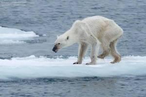 orso emaciato commuove il web